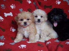Peek A Poos Puggle Puppies For Sale Poodle Mix Cute