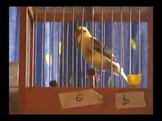 Anilla 6 2007 Ernesto Ramos Canario Timbrado Spanish Canary - YouTube