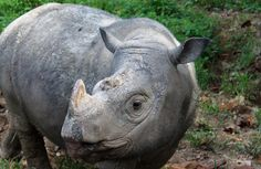 Sumatran Rhinoceros: Species Is Extinct in Malaysian Wild, Scientists Say The last Sumatran rhinoceros seen in the wild was in 2007, scientists said. Two females that were captured in 2011 and 2014 are in captive breeding programs.
