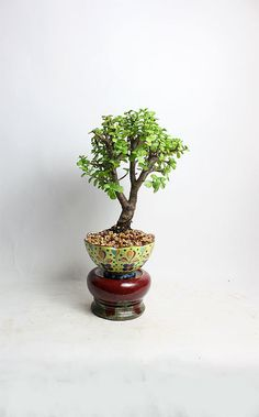 Dwarf Jade Bonsai Tree by LiveBonsaiTree by LiveBonsaiTree on Etsy