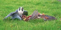 Dravce z Európy lovili na Slovensku - Časopis Poľovníctvo a rybárstvo