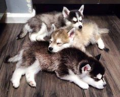 """Find out additional details on """"Siberian Husky dogs"""""""". Look into our internet site. Cute Husky Puppies, Siberian Husky Puppies, Husky Puppy, Siberian Huskies, Agouti Husky, Huskies Puppies, Malamute Husky, Cute Funny Animals, Cute Baby Animals"""