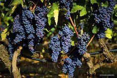 Vineyard - Imathia Regional Unit - Greece