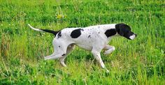 english pointer dog photo | Pointer ( English Pointer ) - Information, pictures and videos | DBS