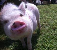 Wilbur is an adoptable pot bellied pig living in Oklahoma. Find out more about Wilbur! Wilbur is an adoptable pot bellied pig living in Oklahoma. Find out more about Wilbur! Animals Beautiful, Cute Animals, Animal Noses, Pot Belly Pigs, Indoor Pets, Baby Goats, Flying Pig, Pork Rinds, Cute Pigs