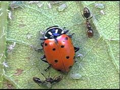 Tank. Drops poison that kills one ant.. Ants defending aphids from ladybeetles (#103)