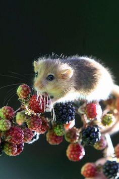 Dinner time for a tiny dormouse.