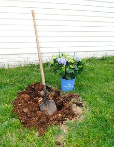 Great tips on planting and growing Hydrangeas! #EndlessSummer #Blogher #Ad