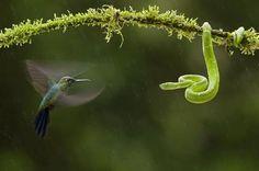 Hummingbird and snake