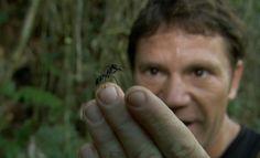 Formiga-cabo-verde: A maior formiga do mundo! - AC Variedades