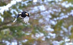 A magpie carrying dinner home to her chicks (a peanut makes a good dinner!).