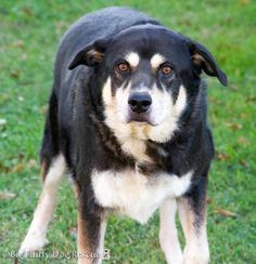 LOOK WHO GOT ADOPTED!♥♥♥♥♥♥1/2016♥♡11/4/15❤❤Meet Marlow, a Petfinder adoptable Alaskan Malamute Dog | Charlottesville, VA | At 8 years old, Rex is slowly creeping into his golden years. Although he's not quite there yet,...