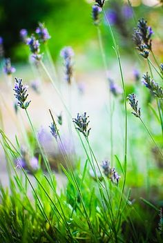 Lavender / have this in my flower beds / makes a colorful show each spring / then again in late summer