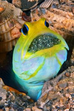 Yellowhead Jawfish (Opistognathus aurifrons) with eggs in mouth | by Kevin Bryant, DMD.