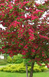 """""""Rosea Flore Pleno"""" tree.  Flowering Hawthorne Tree.  WANT ONE!!  Reminds me of trees from my childhood home."""