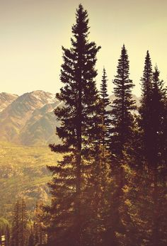 Beautiful, stately pines.