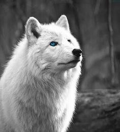 The White Wolf.or casper sometimes I think people wonder if she's a wolf Wolf Love, Arktischer Wolf, Wolf Eyes, Wolf Howling, Beautiful Creatures, Animals Beautiful, Cute Animals, Wolf Spirit, My Spirit Animal