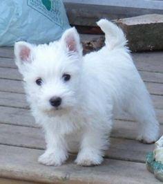 Westie Puppies, Westies, West Highland White, White Terrier, Samoyed, Terrier Dogs, Scottie, Maltese, Adorable Animals