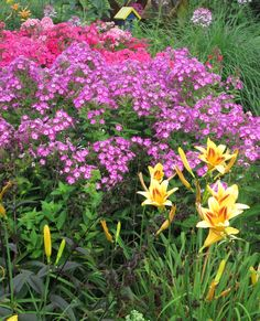 Volcano phlox take the stage in this cottage garden but the lovely yellow daylilies help to make them shine.