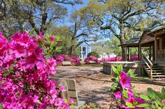 Azaleas blooming in Franklin Square in Southport, NC.