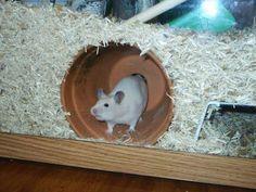 Gerbil pot summer cooling for the hamster too? - Gerbil pot summer cooling for the hamster too? Habitat Du Hamster, Dwarf Hamster Cages, Diy Hamster Toys, Hamster Diy Cage, Gerbil Cages, Hamster Life, Syrian Hamster, Hampster Cage, Rats