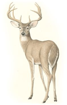 The White-Tailed Deer | Texas Monthly