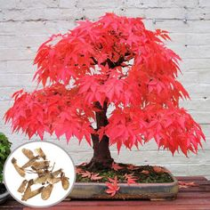 Bonsai is a Japanese art form using miniature trees grown in containers. Bonsai is plantings in tray or low-sided pot. Bonsai trees are awesome and most beautiful trees. Bonsai Maple Tree, Japanese Maple Bonsai, Maple Tree Seeds, Japanese Red Maple, Red Maple Tree, Maple Leaves, Japanese Tree, Bonsai Seeds, Bonsai Plants
