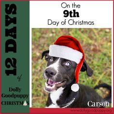 9th Day of Christmas, dog of the day is CARSON DUKES. Carson is a 6 month old, male, Border collie mix. He is our resident escape artist.  He would be a great indoor companion & would enjoy being outside under supervision. He never leaves us; he just doesn't like to be fenced. He is crate trained &  wants to be with YOU. Carson gets along great with other dogs.  $150 adoption fee includes spay, vaccinations, & microchip. If interested in Carson complete the application at…