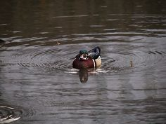 Different duck in Central Park
