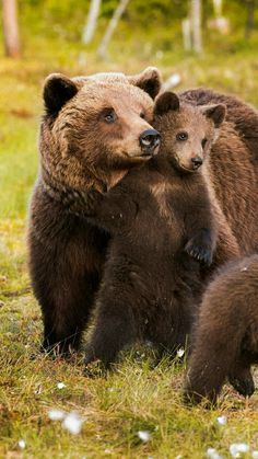 Grizzly bear Mom and cubs, too cute Bear Cubs, Panda Bear, Grizzly Bears, Bear Pictures, Animal Pictures, Cute Baby Animals, Animals And Pets, Beautiful Creatures, Animals Beautiful