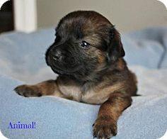 Durham, NC - Dachshund Mix. Meet Animal a Puppy for Adoption. adoption paperwork submitted
