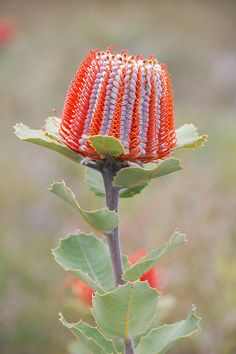 GOD IS SIMPLY AMAZING!  Look at this...  Banksia coccinea, Western Australia  The Scarlet Banksia can still be found in a few nature reserves and national parks in the SW of Australia. It flowers in spring.   It is to a minor extent grown for cut flowers, too. Asians reportedly refuse to believe that the flowers are real and examine them to find out how they have been made.   The numerous honey-eaters, parrots and other birds of the region find banksia flowers a very attractive source of…