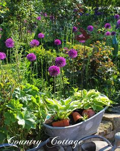 My Country Cottage Garden: I LoVe My Alliums!