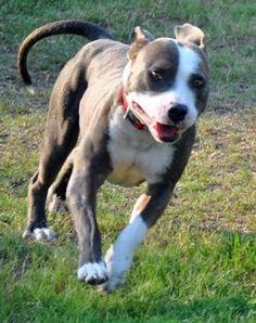 HUMANE SOCIETY DALLAS COUNTY Tigger - American Pit Bull Terrier [Mix]
