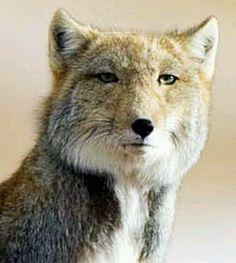 The Stoic Tibetan Fox
