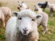 Free Image on Pixabay - Ireland, Sheep, Lambs, Livestock Funny Drawings, Animal Drawings, Funny Babies, Funny Kids, Farm Animals, Funny Animals, Les Aliens, Gado, Sheep And Lamb