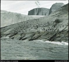 Penguins under cliffs on a rockface and in the sea.  Australasian Antarctic Expedition, 1911-1914.   by Frank Hurley, Australian photographer