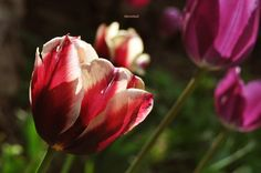 ...loučení Rose, Flowers, Plants, Pink, Florals, Roses, Planters, Flower, Blossoms