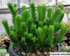 Crassula ericoides - Large Whipcord is a spreading perennial shrub up to 10 inches cm) high, often much-branched towards the apex. Types Of Succulents Plants, Growing Succulents, Cool Plants, Air Plants, Crassula Succulent, Succulent Gardening, Planting Succulents, Succulent Plants, Low Growing Shrubs