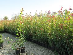 Fotinia Photinia Red Robin Photinia Red Robin, Mixer, Patio, Landscape, Gardens, Planters, Landscaping, Green, Lawn And Garden