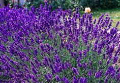 Lavendel 'Lavandula angustifolia 'Dwarf Blue'' - Eigenschappen Bloeiperiode: Juli, Augustus, September Hoogte: 50 - 80 cm Tegen zeewind bestand http://www.groenrijk.nl/GroenEncyclopedie-Lavandula-angustifolia-Dwarf-Blue