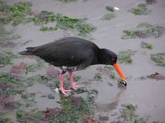 The Variable Oystercatcher (Haematopus unicolor) is a species of wader in the Haematopodidae family. It is endemic to New Zealand. The Maori name is torea-pango.[2] They are also known as red bills. (source)