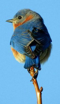 Pájaro azul del este con detalle asombroso