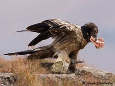 The diet of the Bearded Vulture is bones, allowing it to return to a carcass long after other scavengers have removed any soft tissues. Bones too large to swallow are dropped from great height. Birds 2, Vulture, Mountain Range, Bald Eagle, Bones, Survival, Nests, Swallow, Cliff