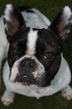 French Bulldog Loulou. Französische Bulldogge.