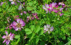 2015/04/14 9:37 〔路傍の春〕手に取るなやはり野に置けれんげ草