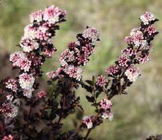 'Tiny Wine' Ninebark Perennial Shrub - Physocarpus - Proven Winners - 1 Qrt Pot