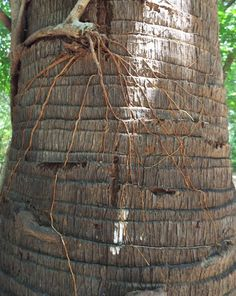 Tree roots..