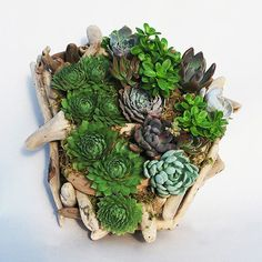 Beach Wood Succulent Garden ==