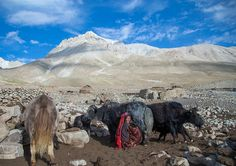 https://flic.kr/p/LmYnJ9 | Wakhi nomad woman milking a yak, Big pamir, Wakhan…
